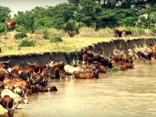 Cattle watering in Uganda's Rwenzori Region